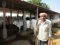 Hirte mit indischen Kühen