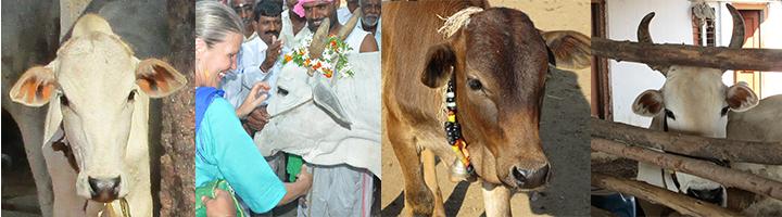 Dank allen Kühen dieser Welt. in Indien sind Kühe heilig.