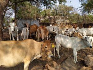 Thanks to your donations he was able to repair his cow enclosure// Dank unserer Unterstützung konnte er sein Kuhgehege restaurieren